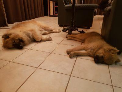 deux chiens dorment